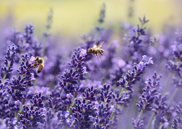 Image result for bee pollinating lavender