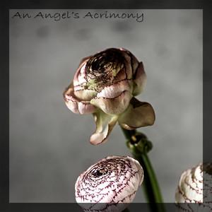 An Angel's Acrimony