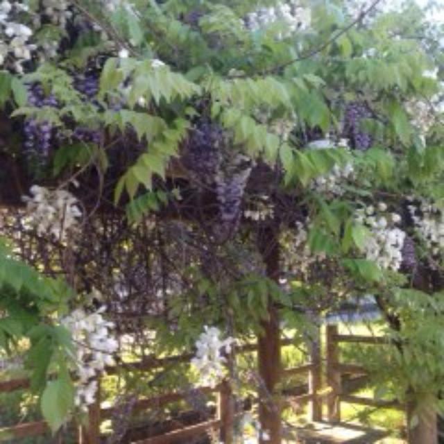藤の花のサムネイル
