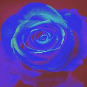 Lil's Blue Rose