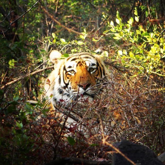 Tigerclaw